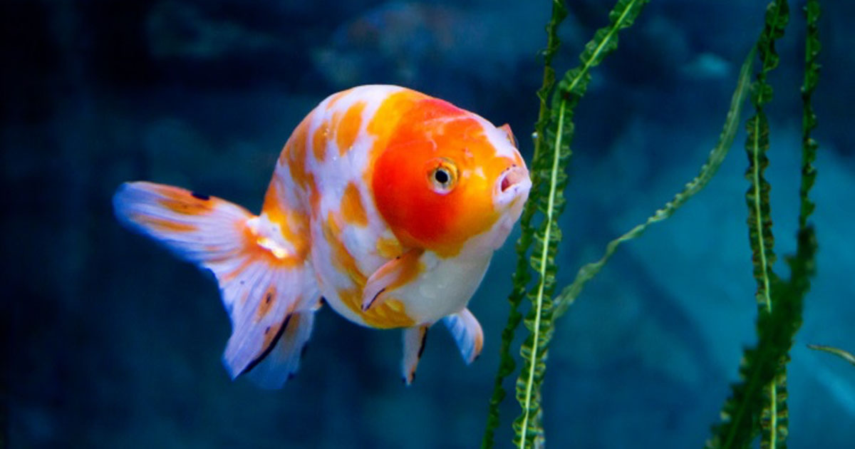 The great goldfish attention span myth and why it s for Enfermedades de peces goldfish